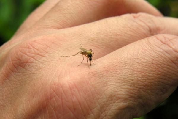 Resultado de imagem para mosquito Aedes aegypti.
